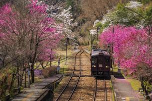 春満開の桜やハナモモ咲く谷間のわたらせ渓谷鉄道神戸駅 神戸駅より下り車両の写真素材 [FYI04830777]