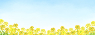 菜の花と青空Dのイラスト素材 [FYI04830841]