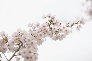 桜の写真素材 [FYI04830956]