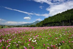 コスモス畑と磐梯山の写真素材 [FYI04831311]