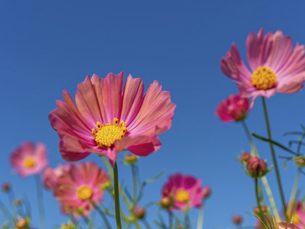 青空の下で咲いているピンクのコスモスの花の写真素材 [FYI04831334]