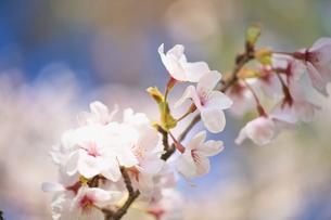 枝桜の写真素材 [FYI04831705]