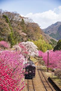 桜 ハナモモなど満開の花咲く谷間を走るローカル列車 わたらせ渓谷鉄道 神戸駅よりの写真素材 [FYI04831736]