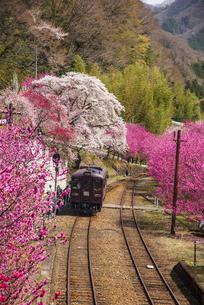 満開の桜やハナモモなど共演する谷間を走るわたらせ渓谷鉄道神戸駅よりの写真素材 [FYI04831738]