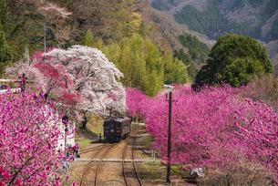 神戸駅より山郷を埋める満開の桜とハナモモの間を走るわたらせ渓谷鉄道の写真素材 [FYI04831739]