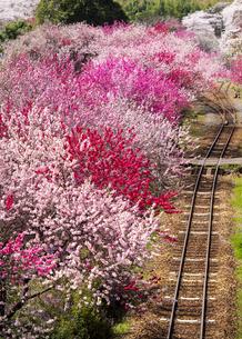満開の桜とハナモモにわたらせ渓谷鉄道の線路 神戸駅付近の写真素材 [FYI04831818]