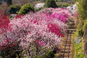 満開の桜やハナモモと線路 神戸よりの写真素材 [FYI04831859]