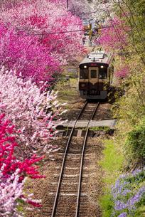 満開の桜やハナモモのトンネルを走るわたらせ渓谷鉄道 神戸駅~沢入駅の写真素材 [FYI04831876]