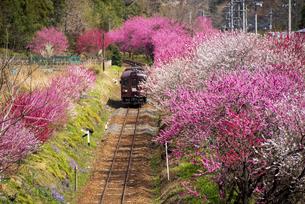 満開の桜 ハナモモの間を走るローカル線 わたらせ渓谷鉄道 神戸駅~沢入駅の写真素材 [FYI04831929]