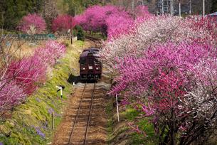 谷間のサクラやハナモモの花並木の中を走る春のわたらせ渓谷鉄道 神戸~沢入下り列車の写真素材 [FYI04831947]