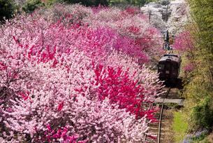 満開の桜とハナモモの中を走るわたらせ渓谷鐵道わたらせ渓谷線神戸駅付近の写真素材 [FYI04832033]