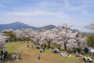 神奈川 秦野 弘法山公園の桜の写真素材 [FYI04832092]