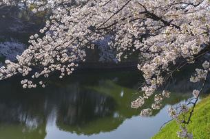東京 千鳥ヶ淵の桜の写真素材 [FYI04832120]