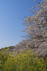 東京 千鳥ヶ淵の桜の写真素材 [FYI04832125]