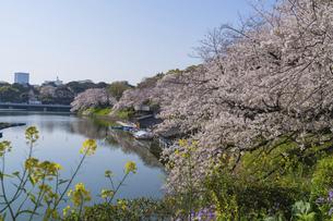 東京 千鳥ヶ淵の桜の写真素材 [FYI04832126]
