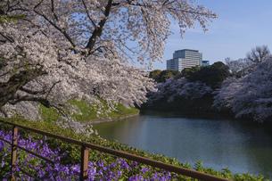 東京 千鳥ヶ淵の桜の写真素材 [FYI04832131]