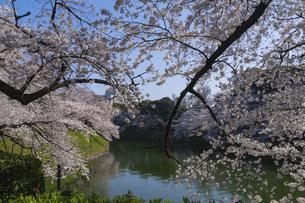 東京 千鳥ヶ淵の桜の写真素材 [FYI04832134]