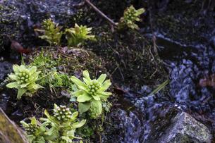 渓流の脇に生えたフキノトウの写真素材 [FYI04832160]