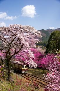 サクラやハナモモの花が満開の桃源郷を走るわたらせ渓谷鉄道 上り列車神戸駅付近の写真素材 [FYI04832237]