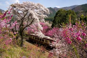満開の桜とハナモモとローカル列車 わたらせ渓谷鉄道 神戸駅付近の写真素材 [FYI04832430]