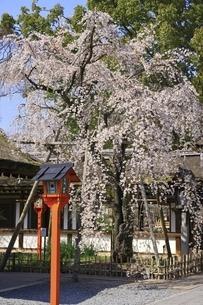 平野神社の写真素材 [FYI04832690]
