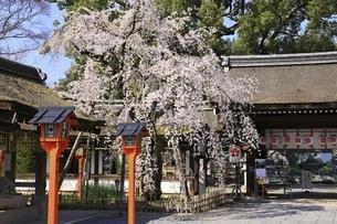 平野神社の写真素材 [FYI04832691]