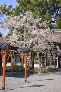 平野神社の写真素材 [FYI04832692]