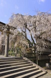 大石神社の枝垂桜の写真素材 [FYI04832716]
