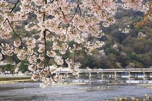嵐山の桜と渡月橋の写真素材 [FYI04832725]