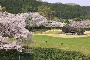 石舞台古墳と桜の写真素材 [FYI04832758]
