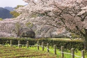 石舞台古墳と桜の写真素材 [FYI04832760]