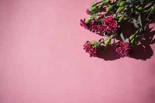 ピンクバックにカーネーションの背景素材の写真素材 [FYI04832841]