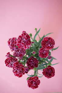 ピンクバックのカーネーションの花の写真素材 [FYI04832845]