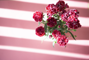 ピンクバックのカーネーションの花の写真素材 [FYI04832846]