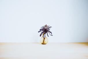 多肉植物の黒法師サンシモンの写真素材 [FYI04832946]