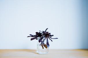 多肉植物の黒法師サンシモンの写真素材 [FYI04832947]