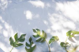 白いファブリック背景に置かれたモンステラの植物の写真素材 [FYI04832972]