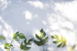 白いファブリック背景に置かれたモンステラの植物の写真素材 [FYI04832973]