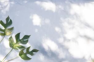 白いファブリック背景に置かれたモンステラの植物の写真素材 [FYI04832974]