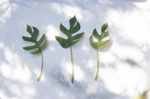 白いファブリック背景に置かれたモンステラの植物の写真素材 [FYI04832975]
