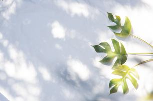 白いファブリック背景に置かれたモンステラの植物の写真素材 [FYI04832976]