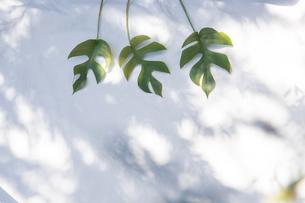 白いファブリック背景に置かれたモンステラの植物の写真素材 [FYI04832977]