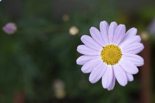夏の庭のピンクのキレイなキクの花の写真素材 [FYI04832980]