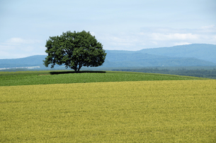 夏の緑の畑に立つ木立の写真素材 [FYI04832982]
