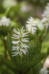 春の白い花の野草 ヒトリシズカの写真素材 [FYI04832988]