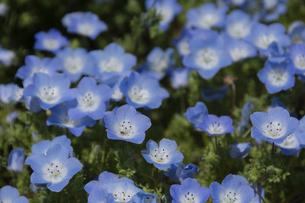 美しい水色の花 ネモフィラの写真素材 [FYI04832993]