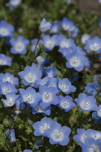 美しい水色の花 ネモフィラの写真素材 [FYI04832994]