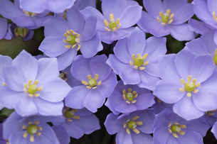 紫色の春の美しい花 タツタソウの写真素材 [FYI04832995]
