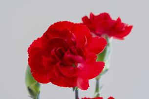 白背景の赤いカーネーションの写真素材 [FYI04832997]