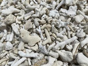 沖縄・石垣島の枝サンゴの写真素材 [FYI04833088]